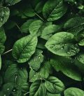 Plante verzi